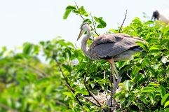 Juvenile great blue heron in nest on top of tree Royalty Free Stock Image