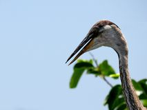Juvenile great blue heron portrait Royalty Free Stock Photos