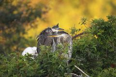 Juvenile Great Blue Herons Stock Photo