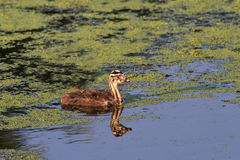 Juvenile great crested grebe Stock Image