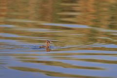 Juvenile great crested grebe podiceps cristatus Stock Photography