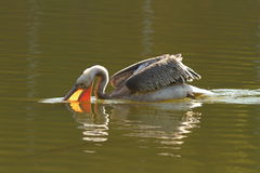 Juvenile great pelican fishing Stock Images