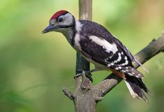 Juvenile Great spotted woodpecker perched on a dry little twig stock images