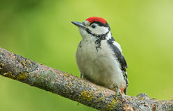 Juvenile Great Spotted Woodpecker Royalty Free Stock Images