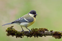 Juvenile great tit. On a twig with moss Royalty Free Stock Image