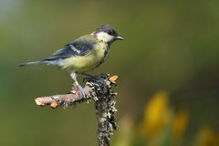 Juvenile Great Tit (Parus major). Juvenile Great tit moulting sitting on branch with lichens. Green background Royalty Free Stock Photo