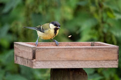 Juvenile Great Tit pecking at food on bird table. Juvenile Great Tit pecking at food on bird table in garden royalty free stock photos