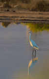 Juvenile Great White Egret Stock Photo
