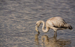 Juvenile Greater Flamingo Stock Image