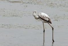 Juvenile Greater Flamingo etching Stock Photo