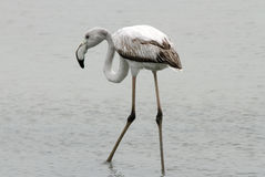 Juvenile Greater Flamingo Stock Images