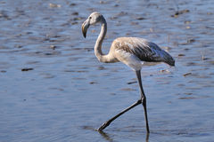 Juvenile greater flamingo hunting in shallow water Stock Photography
