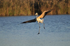 Juvenile greater flamingo landing clumsily stock images