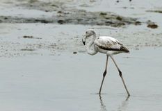 Juvenile Greater Flamingo walking with curved neck Stock Images