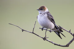 Juvenile Greater Striped Swallow sit on perch and wait Royalty Free Stock Image