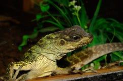 Juvenile Green Basilisk (Basiliscus plumifrons) Stock Images