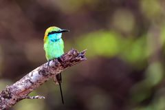Juvenile green bee-eater or Merops orientalis. Perching on a branch in National park Yala, Sri Lanka Stock Photos