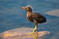 Juvenile Green Heron Stock Photos