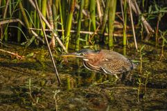 Juvenile green heron on the move. 1 Stock Photography