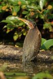 Juvenile Green Heron Perched on a Fallen Log Stock Images