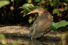 Juvenile Green Heron Perched on a Fallen Log Stock Photography
