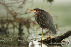 Juvenile Green Heron Perched on a Floating Log Stock Image
