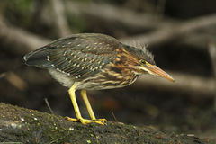 Juvenile Green Heron Stalking its Prey Stock Image