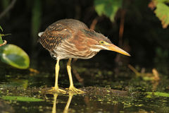 Juvenile Green Heron Stalking its Prey Royalty Free Stock Photos