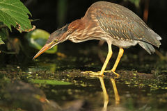 Juvenile Green Heron Stalking its Prey. Juvenile Green Heron (Butorides virescens) Stalking its Prey - Grand Bend, Ontario, Canada Royalty Free Stock Images