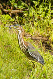 Juvenile Green Heron with Struggling Dragonfly Royalty Free Stock Photos