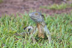 Juvenile green iguana sitting in the grass. A juvenile green iguana is posing in the grass in South Florida Stock Image