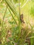 Stridulating Slant-faced Grasshopper on grass Royalty Free Stock Images