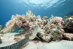 Juvenile green turtle Royalty Free Stock Photography