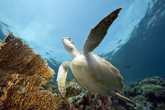 Juvenile green turtle Stock Images