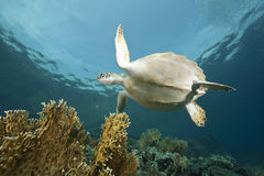 Juvenile green turtle Royalty Free Stock Photos