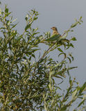 Juvenile Greenfinch on a tree Royalty Free Stock Photos