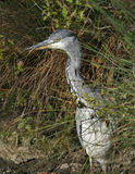 Juvenile Grey Heron Royalty Free Stock Images