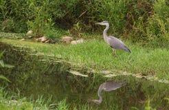 Juvenile Grey Heron at river Royalty Free Stock Photos