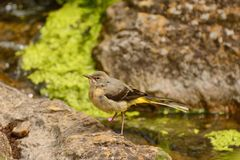 Juvenile grey wagtail camouflaged Stock Photos