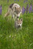 Juvenile Grey Wolf Canis lupus Chases After Pup. Captive animals Stock Photo