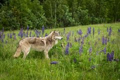 Juvenile Grey Wolf Canis lupus and Pup Stand in Field of Lupin. E - captive animals Stock Image
