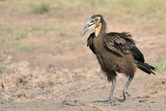 Juvenile Ground Hornbill Stock Image