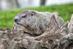 Juvenile groundhog stock photography