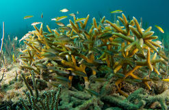 Juvenile Grunts hiding in Staghorn Coral Stock Photo