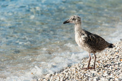 Juvenile gull Stock Photos