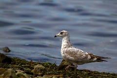 Juvenile Gull Stock Images