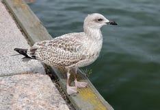 Juvenile Gull on a Pier Stock Photos