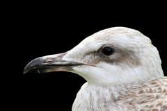 Juvenile gull portrait over black Stock Photos