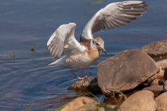 Free Juvenile Gull With Spread Wings After Landing On A Stone Stock Images - 189603414