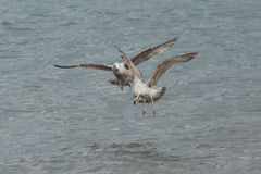 Juvenile Gulls fishing Royalty Free Stock Photos